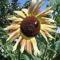 #niebo #niebieski #zielony #brązowy #żółty #słonecznik #słoneczniki #pszczoła #owad #owady #pszczoły #liść #liście #łodyga #drzewo #drzewa