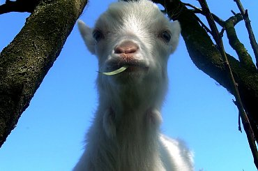 dla mnimb :) #koza #kózka