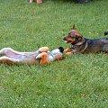 zabawa psów(prawie jak walka)6 #dog #mlody #OwczarekNiemiecki #pies #piesek #rasa #rasowy #rodowod #suczka #szczeniak #kundel #zabawa #walka #zlosc #rodzina #glupota #miki #szczur