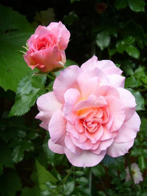 Róże #róże #kwiat #lato #piękno