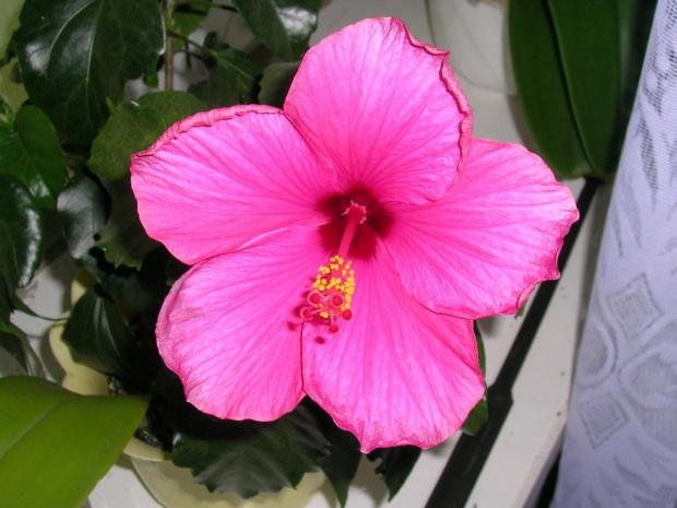 róża chińska #kwiat
