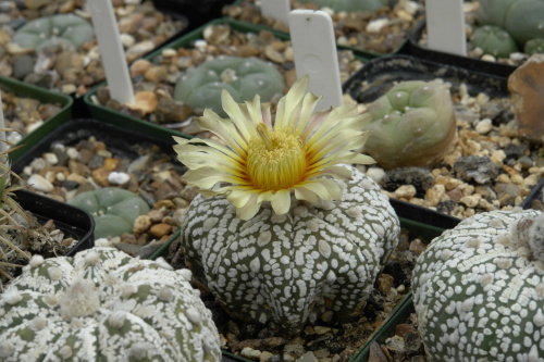 Astrophytum asterias cv supercabuto