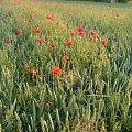 #Opoczno #ZachódSłońca #maki #kwiaty