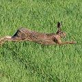#zając #zwierzę #ssak