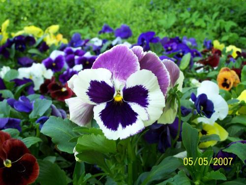 jaki zdziwiony #bratki #kwiatki #kwiaty #KwiatkiZParkuŁazienkowskiego #BratkiZParkuŁazienkowskiego #łazienki #ParkŁazienkowski #PiękneZdjęcie #PiękneKwiatki #PiękneKwiaty #PiękneZdjęcieBratków #PiękneZdjęcieKwiatów