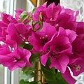 bugenwilla #kwiatki #bugenwilla