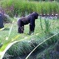 goryl2 #zwierzęta #goryl #małpa