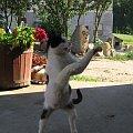 Kto chce walczyć? #Kot #koty #zwierzęta #ciekawe #śmieszne #zabawne #fajne #humor