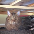 Łobuz co pod łóżkiem siedzi #kot #łobuz #łóżko