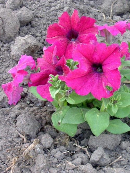 Wiosna cała w kwiatach #kwiat #kwiaty #rośliny #przyroda