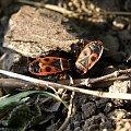#owady #zwierzęta #wiosna #gody