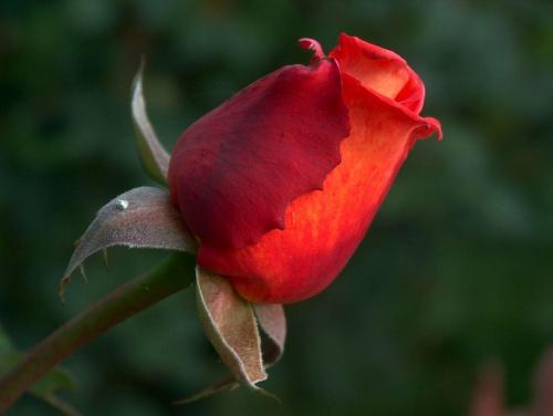 ale mi ten aparat nasyca kolorki ;] ale cóż i tak piękny kwiat